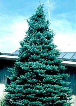 Picture of a Blue Colorado Spruce tree.