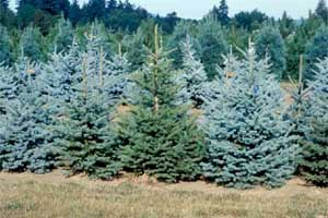 Picture of Blue Colorado Spruce trees showing various seedlings.