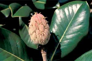 Picture of Southern Magnolia tree fruit.