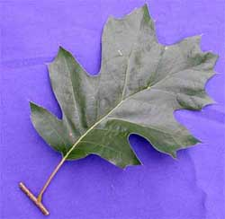 Picture of a broadleaf simple leaf. Link to additional choices for simple broadleaves.