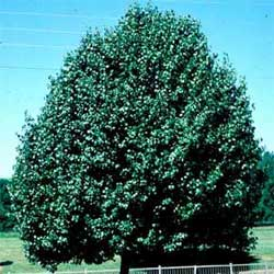 Picture of a Callery Pear tree. Link to Callery Pear tree.