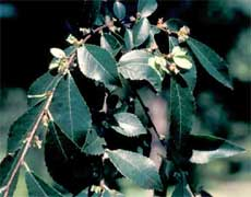 Picture of Chinese or Lacebark Elm fruit tree. Link to Chinese or Lacebark Elm tree.