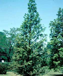 Picture of a Dawn Redwood tree.