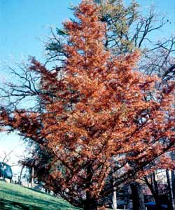 Picture of a Dawn Redwood tree in fall color.