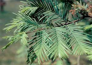 Picture of Dawn Redwood tree needles.