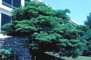 Picture of a Eastern Flowering Dogwood tree.