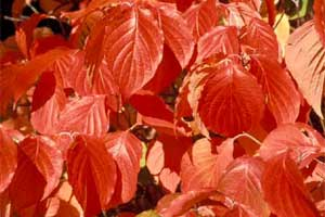 Picture of a close-up view of Eastern Flowering Dogwood tree leaves in fall color.