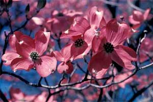 Picture of a close-up view of Eastern Flowering Dogwood tree red flowers.