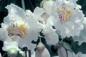 Picture of Northern Catalpa tree flowers.