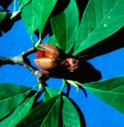 Picture of Saucer Magnolia tree fruit bud.