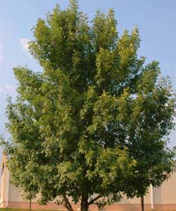 Picture of a Green Ash tree.