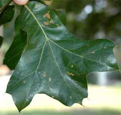 Picture of broadly obovate leaves. Link to Blackjack Oak.