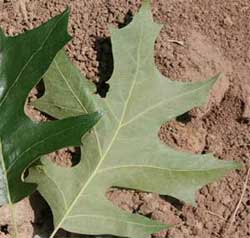 Picture of a leaf that is green with a smooth underside. Link to choose if leaves have lobes.