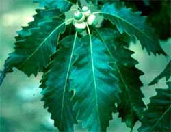 Picture of lanceolate shaped leaves. Link to Chinkapin Oak tree.