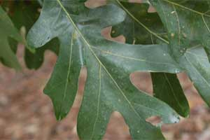 Picture of leaves with lobes or teeth. Link to option to choose leaf lobe type.