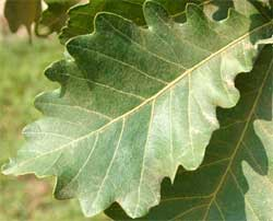 Picture of obovate or obovate-long leaves. Link to Swamp White Oak tree.