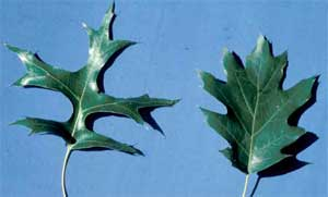Picture comparing pin oak and northern red oak leaves.