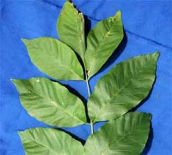 Picture of simple pinnately compounded leaf. Link to option to choose pinnate compound leaf arrangement.