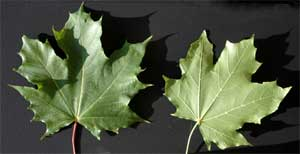 Picture of leaves with a green underside. Link to Sugar Maple tree.