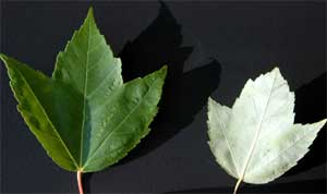 Picture of leaves that underside color is whitish or silvered. Link to Silver Maple Tree.