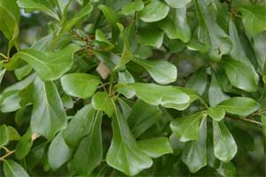 Picture of leaves that are 'willow-like' have no teeth. Link to option to choose leaf shape.