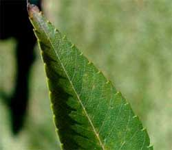Picture of a leaf without lobes. Link to option to choose leaf shape.