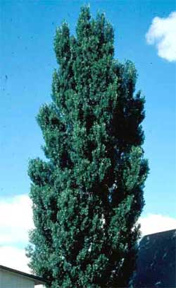 Picture of a Lombardy Poplar tree. Link to Lombardy Poplar tree.