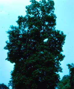 Picture of a Mockernut Hickory tree.