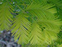 Picture of needle spray with opposite foliage. Link to Dawn Redwood tree.