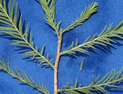 Picture of needle spray with alternate foliage. Link to Baldcypress tree.