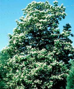 Picture of a Northern Catalpa tree.