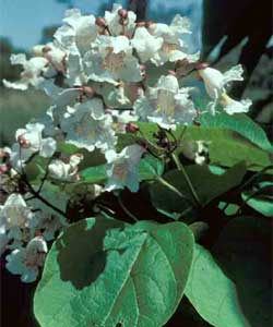Picture of Northern Catalpa tree leaves and flowers.