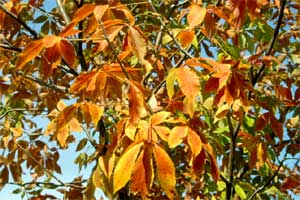 Picture of an Ohio Buckeye tree in fall color.