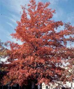 Picture of a Pin Oak tree in fall color.