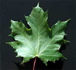 Picture of a leaf with 3- to 5-pointed lobes. Link to option to choose leaf underside color.