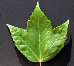Picture of a leaf with primarily 3-pointed lobes. Link to Red Maple tree.