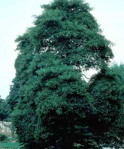 Picture of a Sassafras tree.