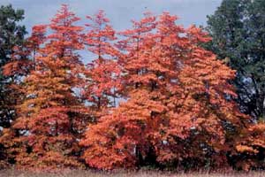 Picture of a Sassafras tree in fall color.