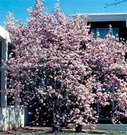 Picture of a Saucer Magnolia tree with spring flowers.
