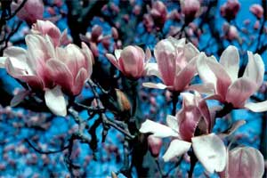 Picture of Saucer Magnolia tree flowers