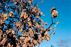 Picture of a Saucer Magnolia tree with freeze damage.