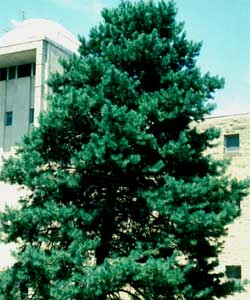 Picture of a Scotch Pine tree.
