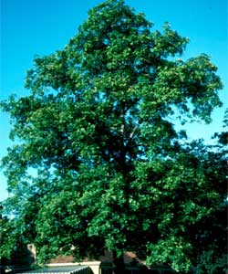 Picture of a Shagbark Hickory tree.