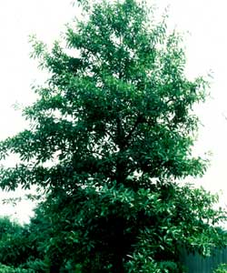 Picture of a Shingle Oak tree.