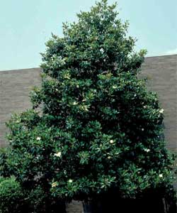 Picture of a Southern Magnolia tree.