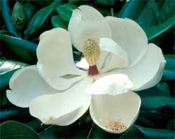 Picture of a Southern Magnolia tree flower.