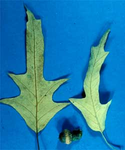 Picture of Spanish Oak tree leaves and bark.