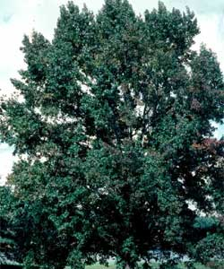 Picture of a Sweetgum tree.