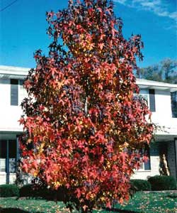 Picture of a Sweetgum tree in fall color.
