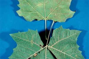 Picture comparing leaves from a Sycamore and a London Planetree.